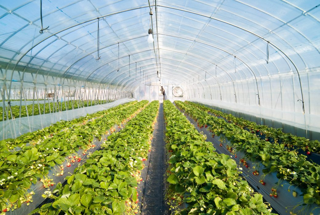 Strawberry Greenhouse Titan Forklifts